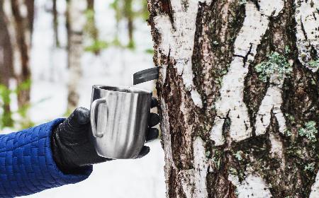 Sok z brzozy, czyli oskoła: jak pozyskać i  stosować sok z brzozy?